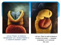 +22 дні. Розвиток ембріону продовжуєетсья, і можна побачити утворення нервово...