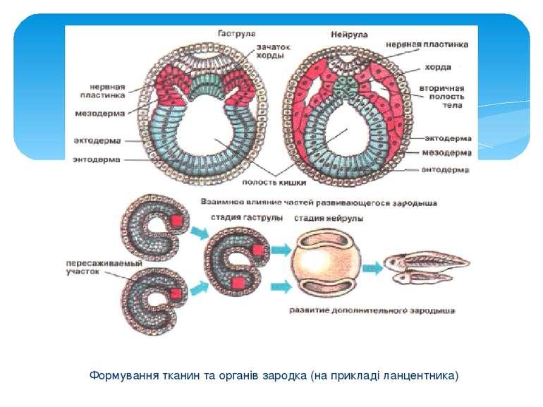 Формування тканин та органів зародка (на прикладі ланцентника)