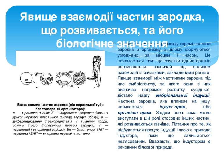 За нормальних умов розвитку окремі частини зародка й організму в цілому форму...
