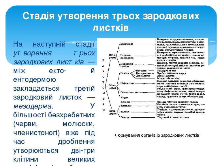 На наступній стадії утворення трьох зародкових листків — між екто- й ентодерм...