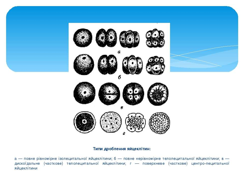 Типи дроблення яйцеклітин: а — повне рівномірне ізолецитальної яйцеклітини; б...