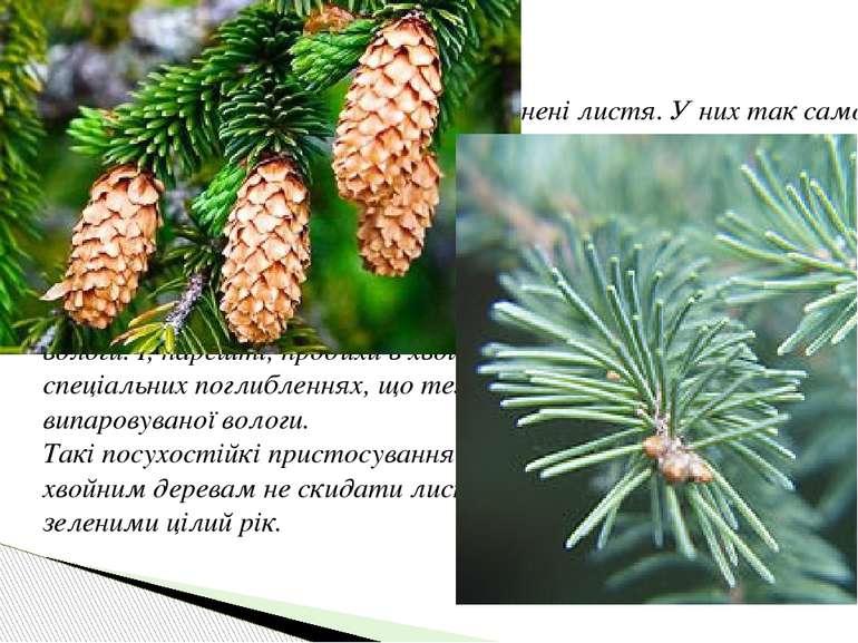 Тонкі голки хвойних дерев – це видозмінені листя. У них так само, як і в звич...