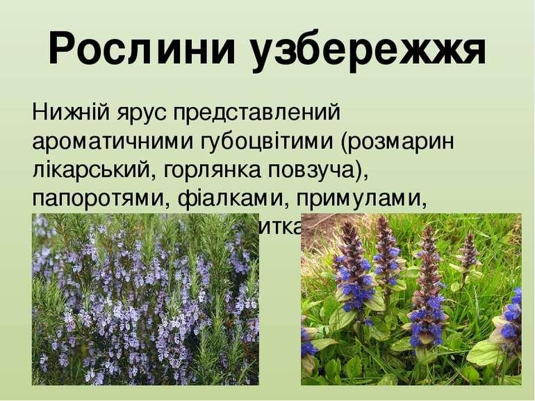 Рослини узбережжя Нижній ярус представлений ароматичними губоцвітими (розмари...