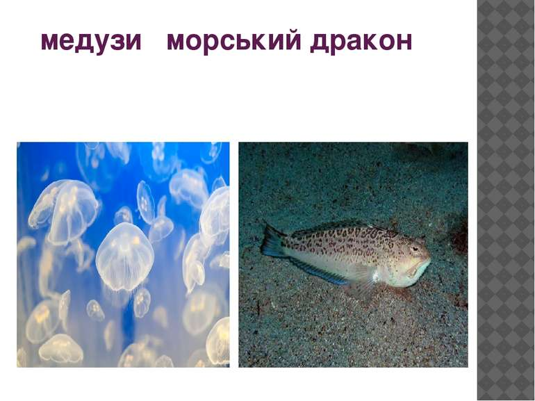 медузи морський дракон