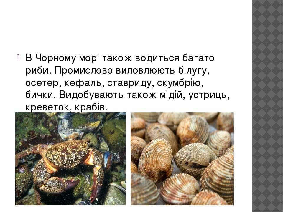 В Чорному морі також водиться багато риби. Промислово виловлюють білугу, осет...