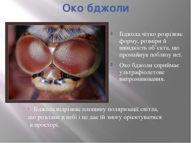 Око бджоли Бджола чітко розрізняє форму, розміри й швидкість об'єкта, що пром...