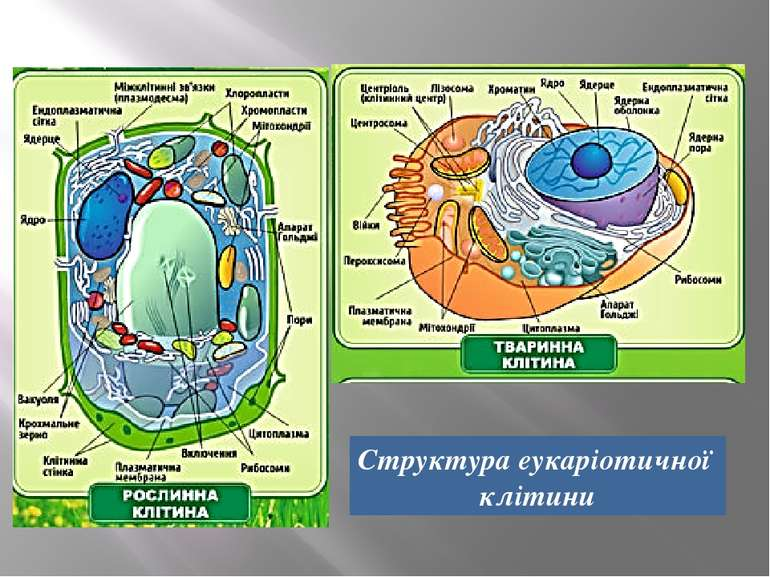 Структура еукаріотичної клітини