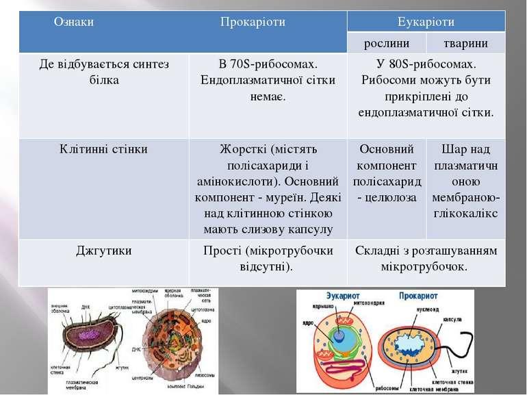 ОзнакиПрокаріоти Еукаріоти рослини тварини Де відбувається синтез білка В 70S...