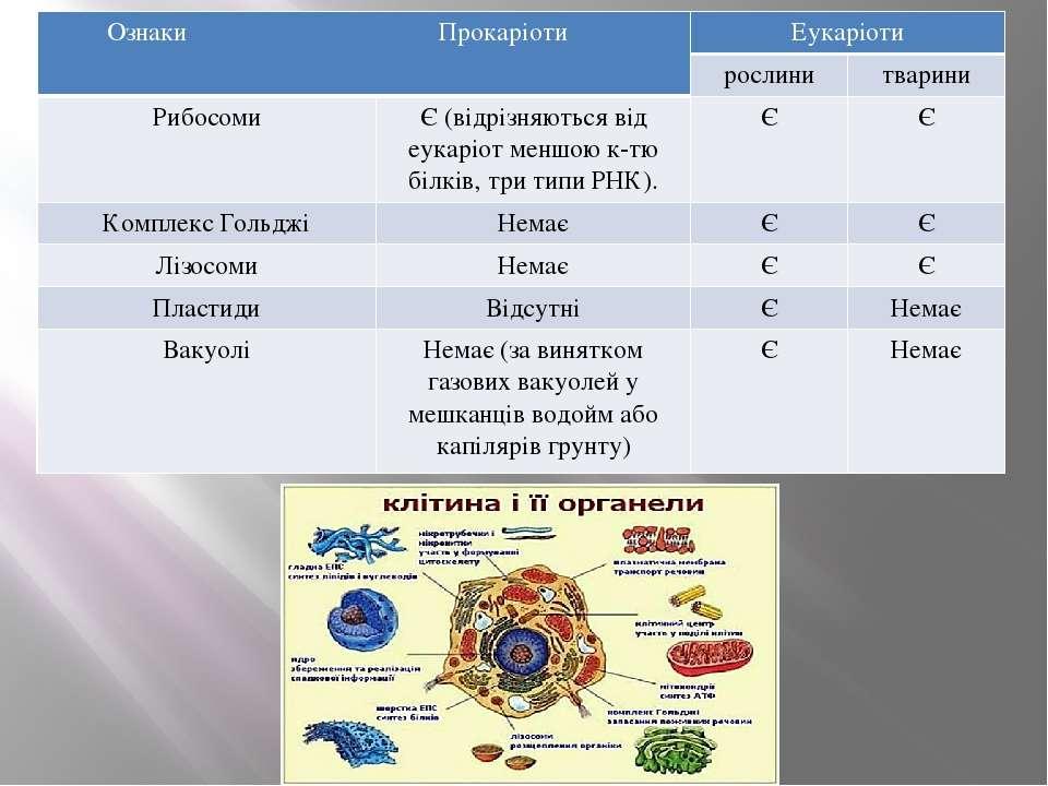 ОзнакиПрокаріоти Еукаріоти рослини тварини Рибосоми Є (відрізняютьсявідеукарі...