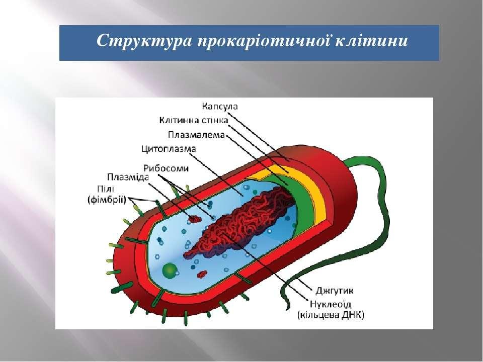 Структура прокаріотичної клітини