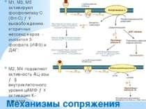 Механизмы сопряжения M1, M3, M5 активируют фосфолипазу С (Фл-C) →↑ высвобожде...