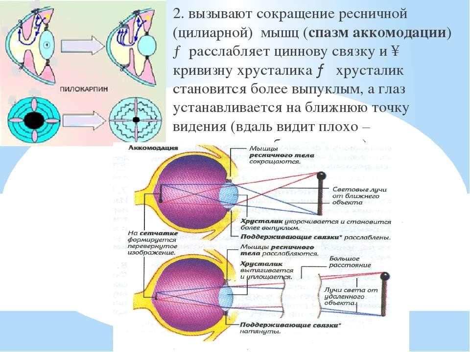 2. вызывают сокращение ресничной (цилиарной) мышц (спазм аккомодации) → рассл...