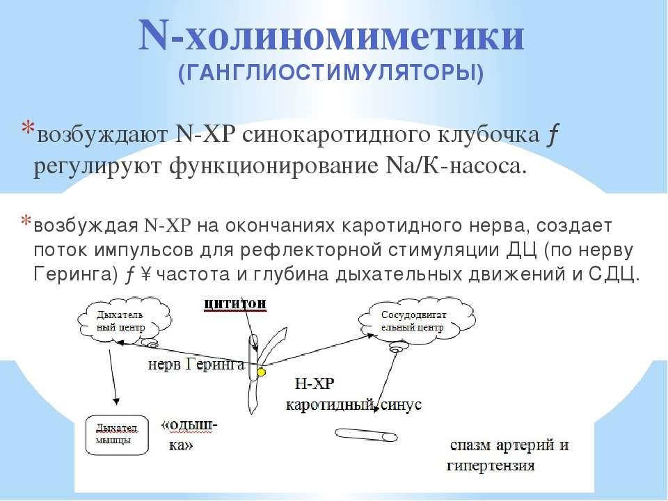 N-холиномиметики (ГАНГЛИОСТИМУЛЯТОРЫ) возбуждают N-ХР синокаротидного клубочк...