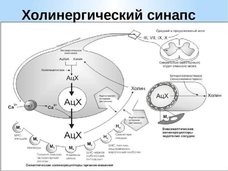 Холинергический синапс
