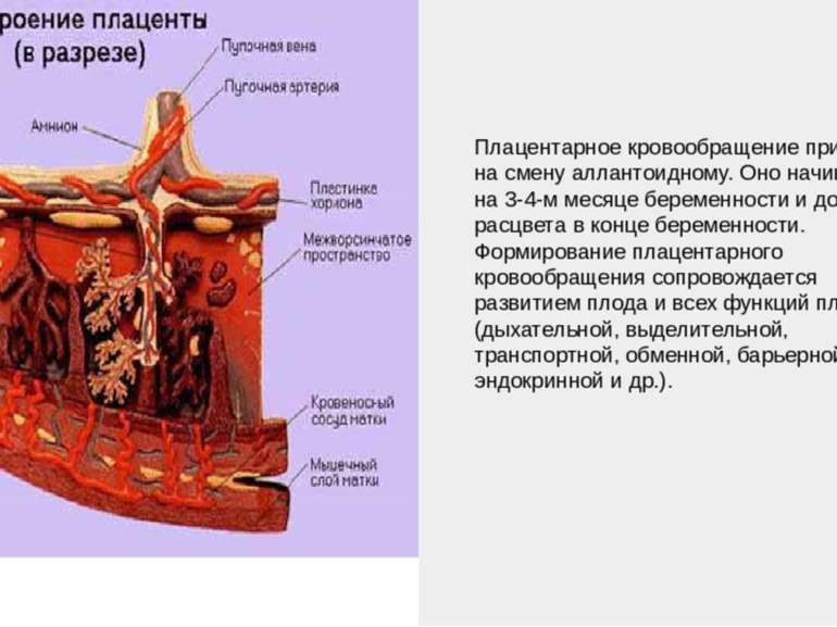 Плацентарное кровообращение приходит на смену аллантоидному. Оно начинается н...