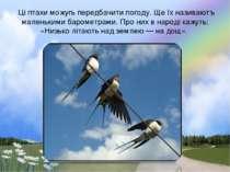 Цi птахи можугь передбачити погоду. Ще їх називаютъ маленькими барометрами. П...
