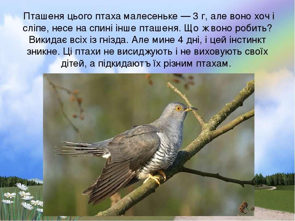 Пташеня цього птаха малесеньке — 3 г, але воно хоч і слiпе, несе на спинi iнш...