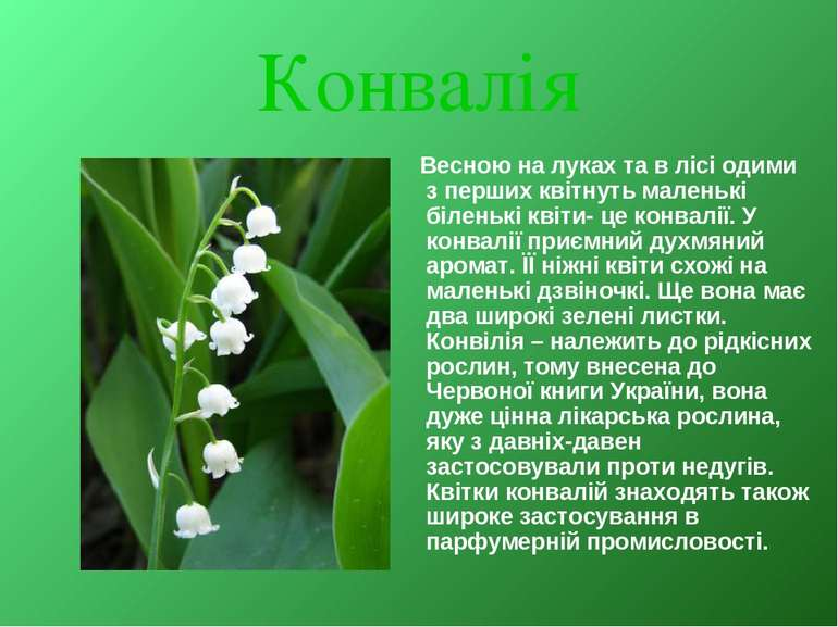 Конвалія Весною на луках та в лісі одими з перших квітнуть маленькі біленькі ...