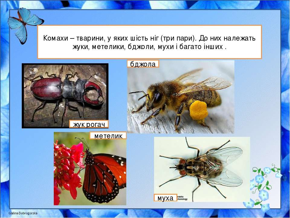 Комахи – тварини, у яких шість ніг (три пари). До них належать жуки, метелики...