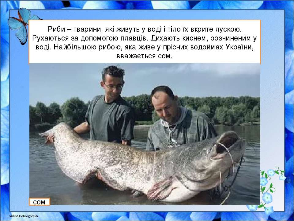 Риби – тварини, які живуть у воді і тіло їх вкрите лускою. Рухаються за допом...