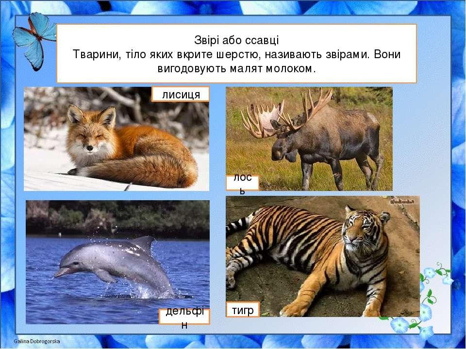 Звірі або ссавці Тварини, тіло яких вкрите шерстю, називають звірами. Вони ви...