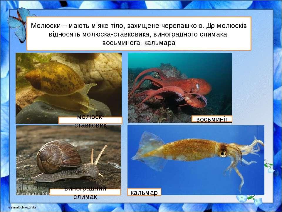 Молюски – мають м'яке тіло, захищене черепашкою. До молюсків відносять молюск...