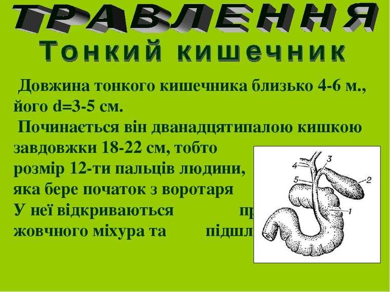 Довжина тонкого кишечника близько 4-6 м., його d=3-5 см. Починається він дван...