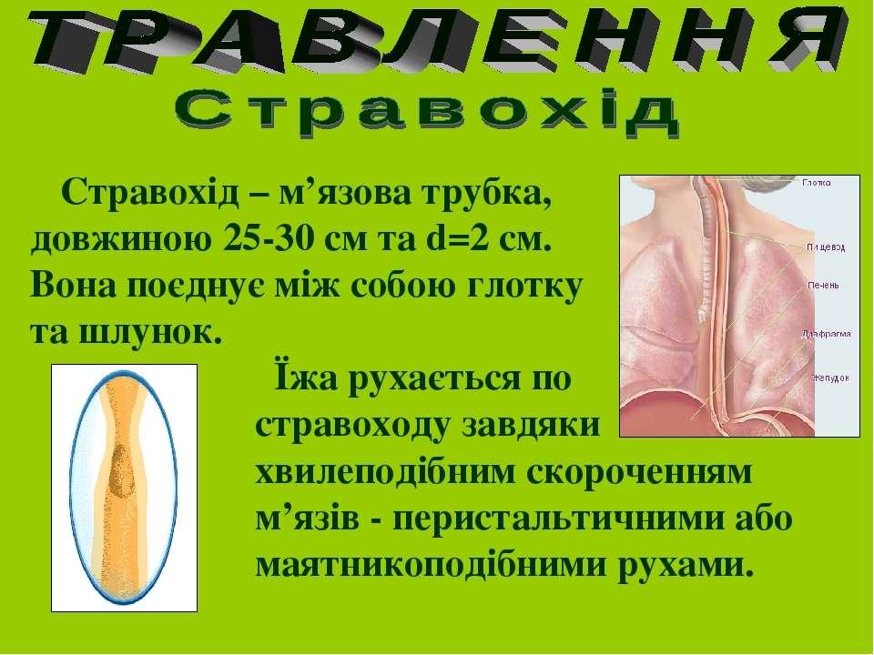 Стравохід – м'язова трубка, довжиною 25-30 cм та d=2 см. Вона поєднує між соб...