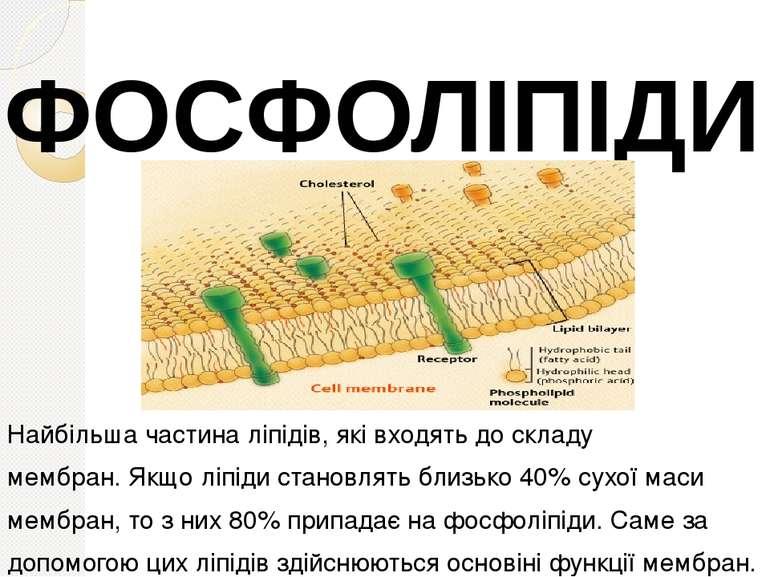 Найбільша частина ліпідів, які входять до складу мембран. Якщо ліпіди становл...