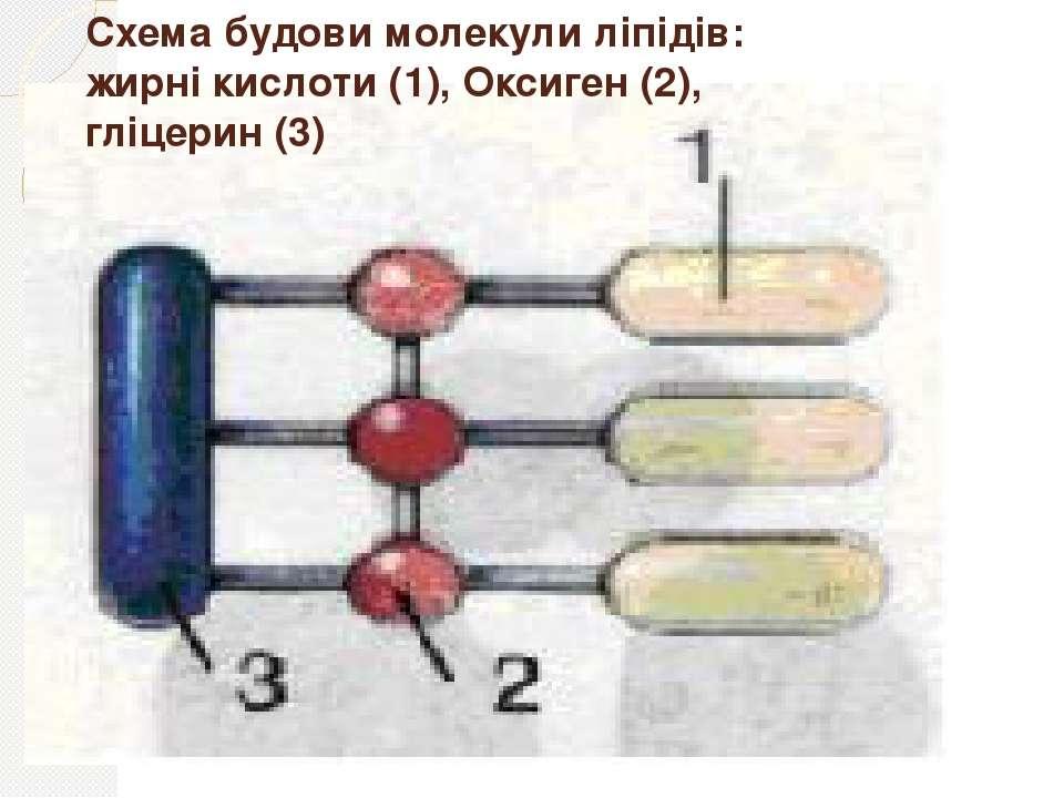 Схема будови молекули ліпідів: жирні кислоти (1), Оксиген (2), гліцерин (3)