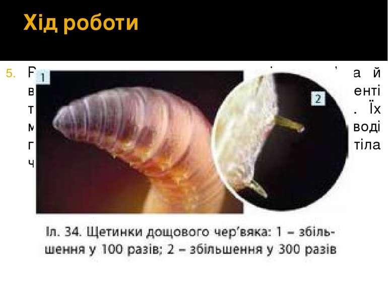 Хід роботи Розглядаємо черевну частину тіла черв'яка й визначаємо кількість щ...