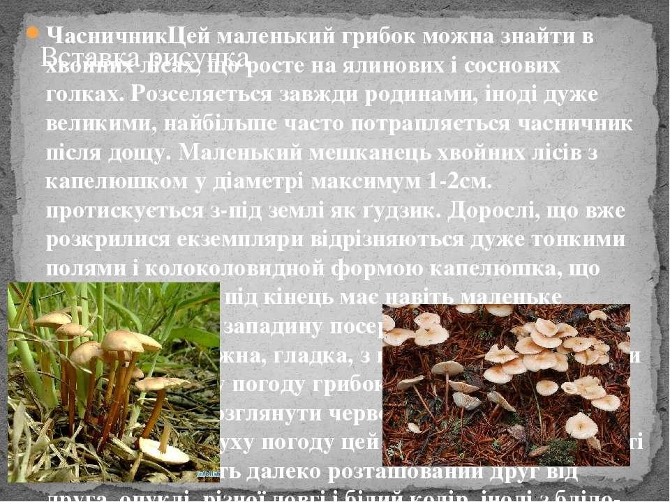 ЧасничникЦей маленький грибок можна знайти в хвойних лісах, що росте на ялино...