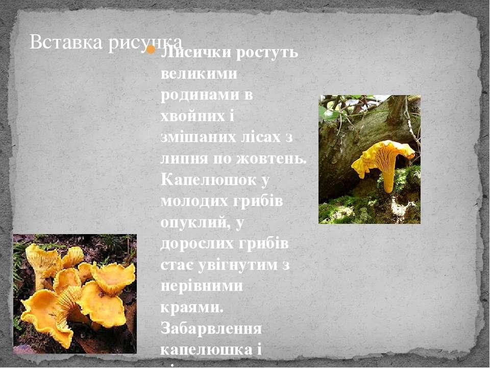 Лисички ростуть великими родинами в хвойних і змішаних лісах з липня по жовте...