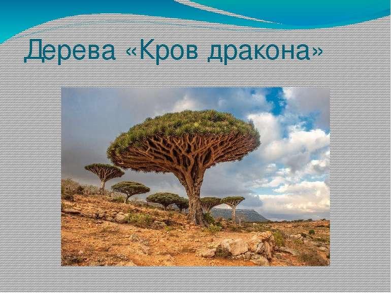 Дерева «Кров дракона»