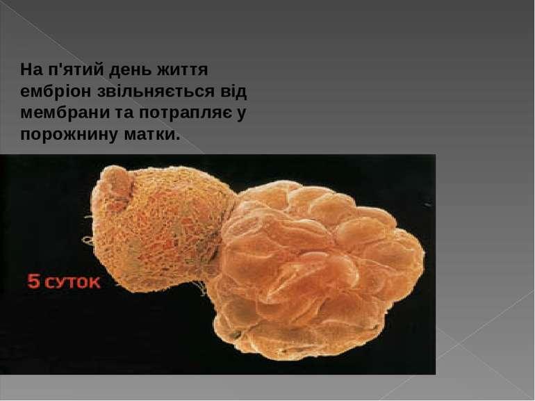 На п'ятий день життя ембріон звільняється від мембрани та потрапляє у порож...