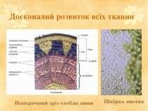 Досконалий розвиток всіх тканин Поперечний зріз стебла липи Шкірка листка