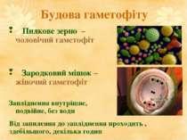 Будова гаметофіту Пилкове зерно – ♂ чоловічий гаметофіт Зародковий мішок – ♀ ...