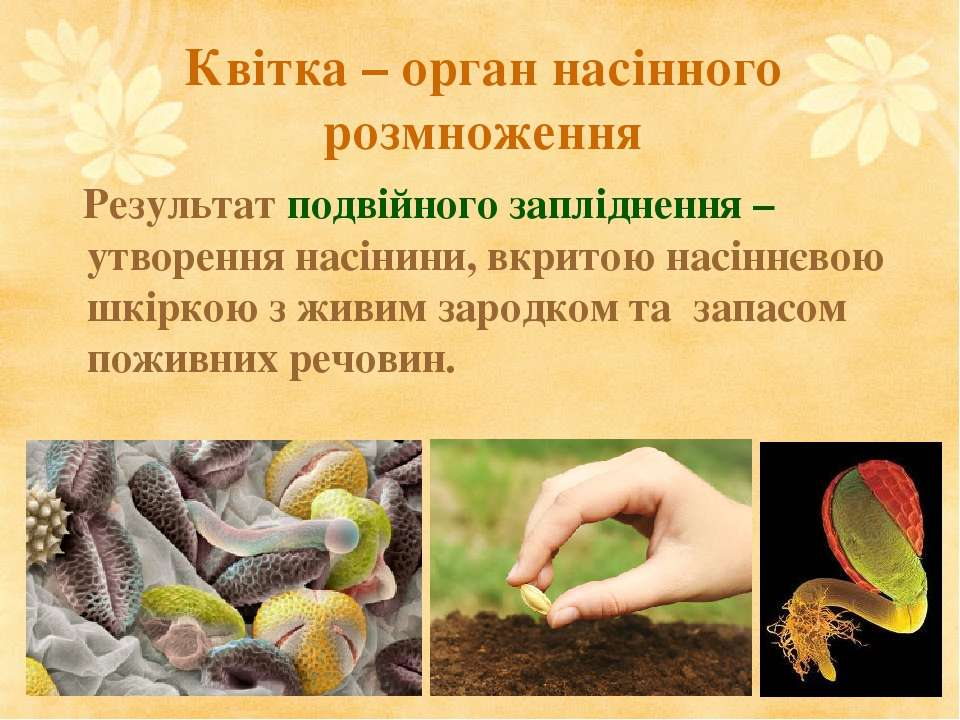Квітка – орган насінного розмноження Результат подвійного запліднення – утвор...