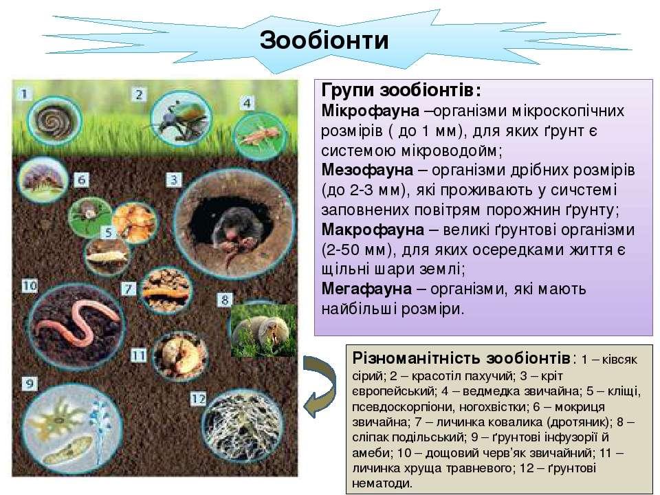 Зообіонти Групи зообіонтів: Мікрофауна –організми мікроскопічних розмірів ( д...