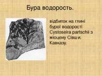 Бура водорость. відбиток на глині бурої водорості Cystoseira partschii з міоц...