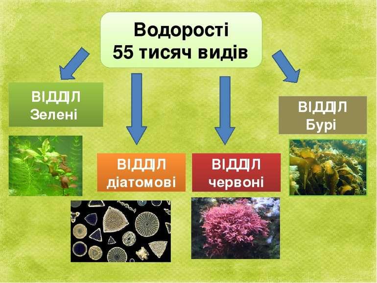 Водорості 55 тисяч видів ВІДДІЛ Зелені ВІДДІЛ діатомові ВІДДІЛ червоні ВІДДІЛ...