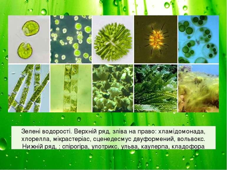 Зелені водорості. Верхній ряд, зліва на право: хламідомонада, хлорелла, мікра...