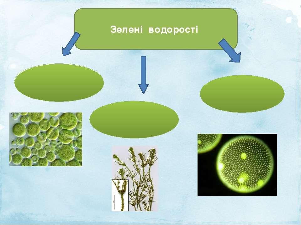 Зелені водорості Одноклітинні багатоклітинні Колоніальні