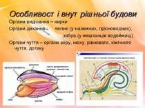 Особливості внутрішньої будови Органи виділення – нирки Органи дихання легені...