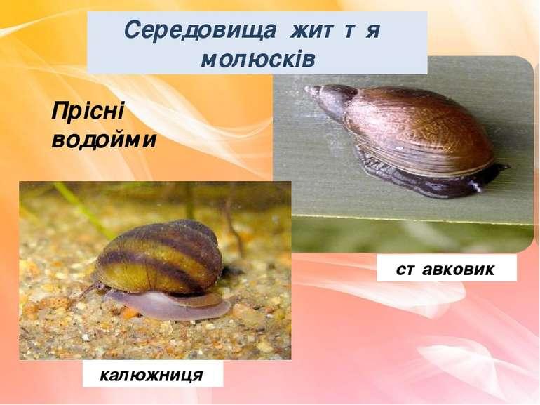 Прісні водойми калюжниця ставковик Середовища життя молюсків