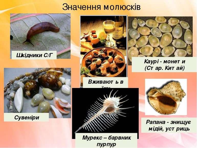 Значення молюсків Шкідники С/Г Вживають в їжу Сувеніри Каурі - монети (Стар. ...