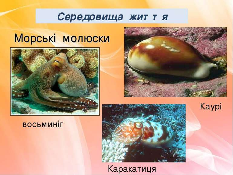 Морські молюски Каурі Каракатиця восьминіг Середовища життя