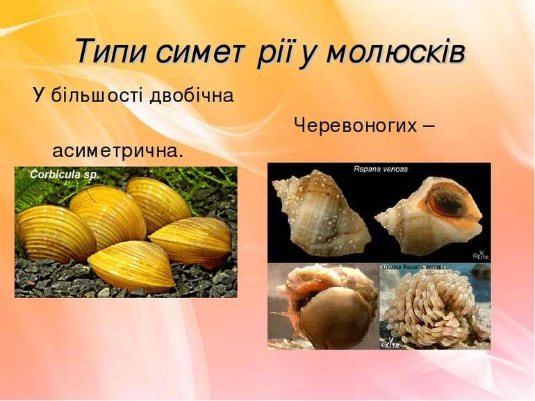 Типи симетрії у молюсків У більшості двобічна Черевоногих – асиметрична.