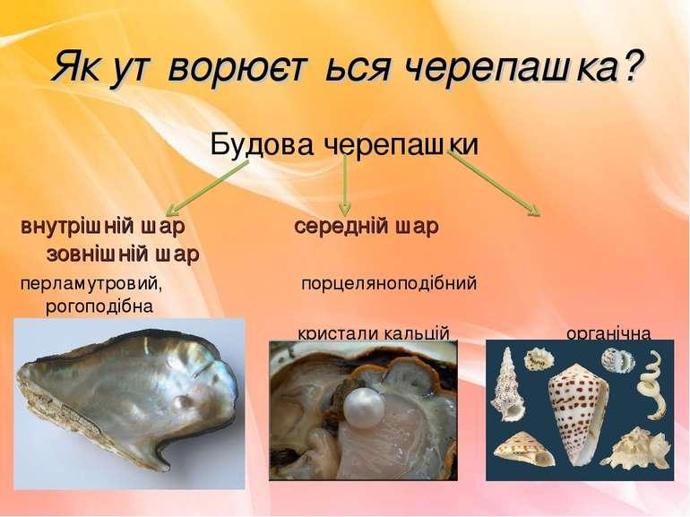 Як утворюється черепашка? Будова черепашки внутрішній шар середній шар зовніш...