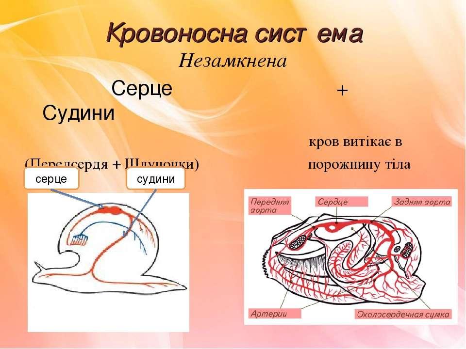 Кровоносна система Незамкнена Серце + Судини кров витікає в (Передсердя + Шлу...